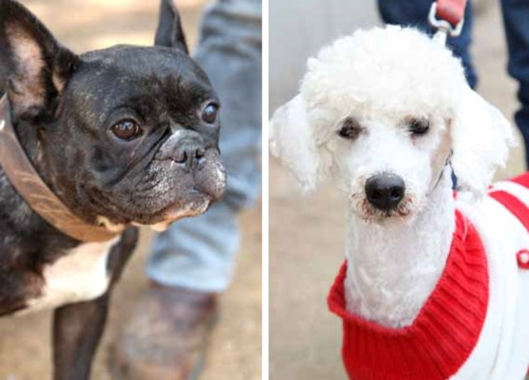 Poodle and French Bulldog