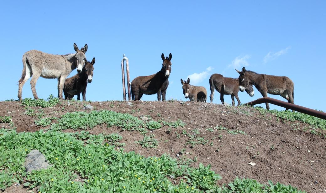 ביתם החדש של החמורים - מאות דונמים של מרעה ירוק וטבעי