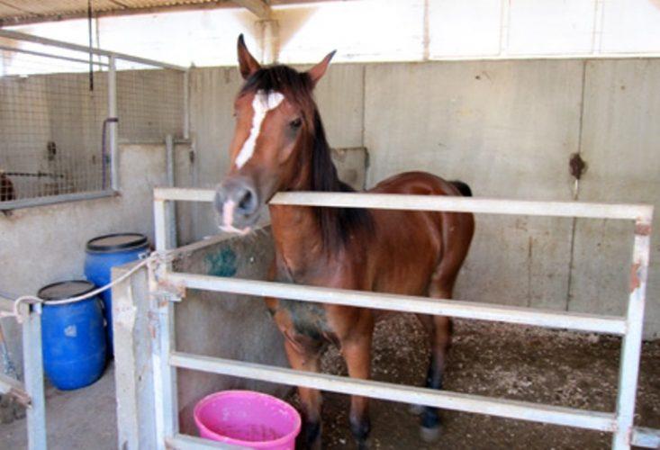 אלכס ביום בו הגיע לאורווה - מעט רזה ומבוהל, שהה בתא רוב הזמן בגלל הפציעה ברגלו
