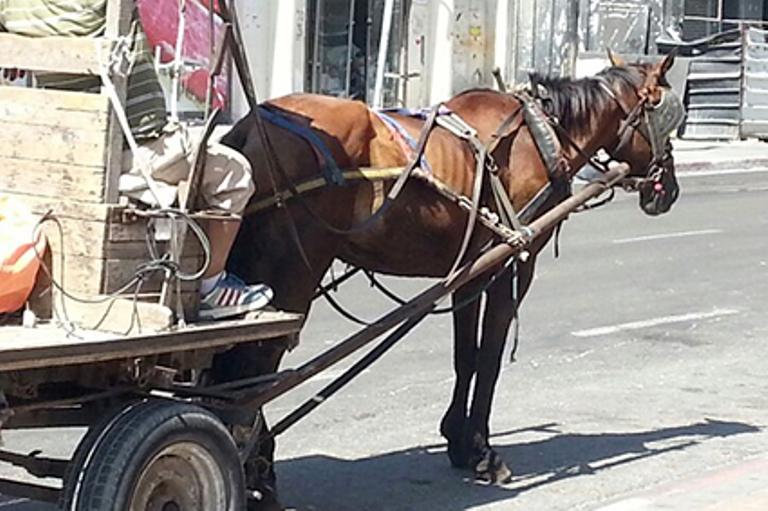 הסוס נתון תחת התעללות מתמדת ועובד בפרך בניגוד לחוק
