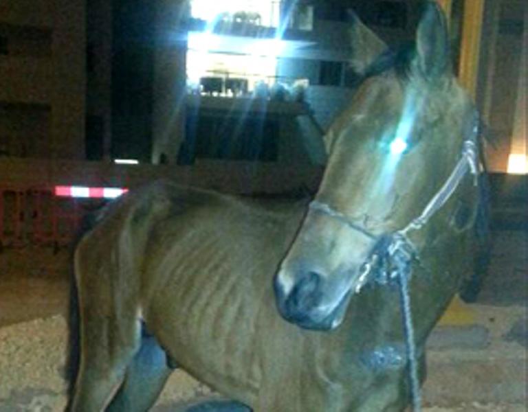 הסוס לפני פינויו לאורוות האגודה