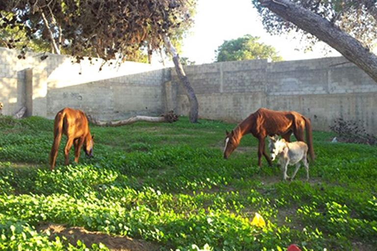 הסוסים והעייר בחצר האגודה, ממתינים להכנת התאים