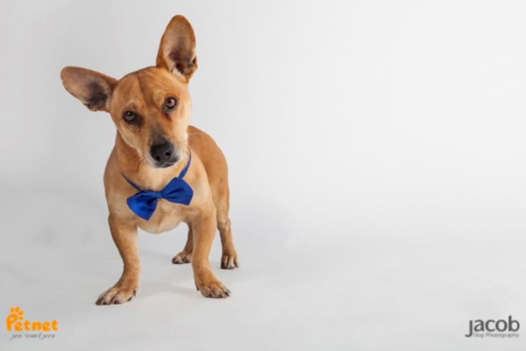 מגניב ביותר בקס - כלב פינצ'ר מעורב בתחש בצבע חום בן 4.5 שנים, פיקח וחכם. כלב QH-02