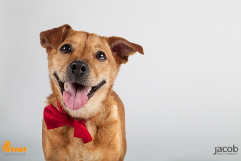 מודרני דייגו - כלב פינצ'ר מעורב בצבע חום בן 4 שנים, עדין ושקט. כלב מופנם VS-26