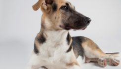 Star - 7 month-old male sheepdog mixed-breed, sweet and shy