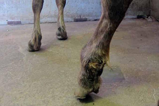 הפצע המוגלתי באזור הרגל לפני הטיפול