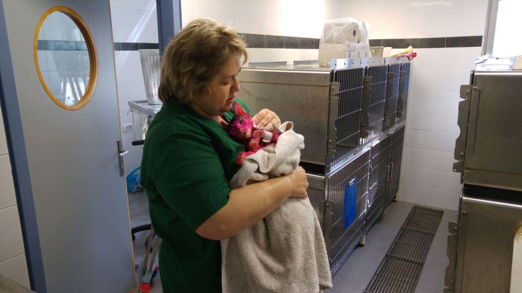בזוקה מקבל טיפול במרפאה הווטרינרית של האגודה