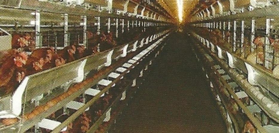 תרנגולות בכלובי סוללה