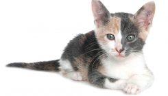 זיהום פטרייתי בחתולים