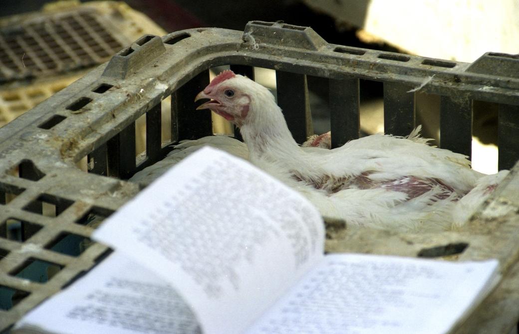 מנהג הכפרות ושחיטת תרנגולים