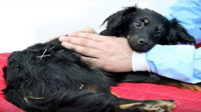 פאפי מקבלת טיפול דיקור סיני