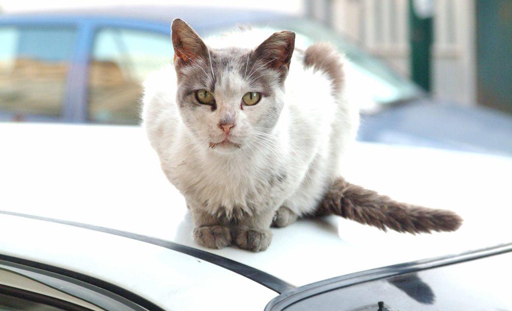 סירוס ועיקור חתולים
