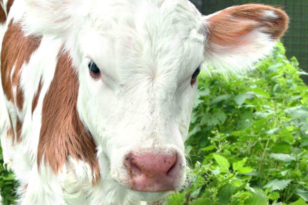 התעללות בבעלי חיים במשק החי