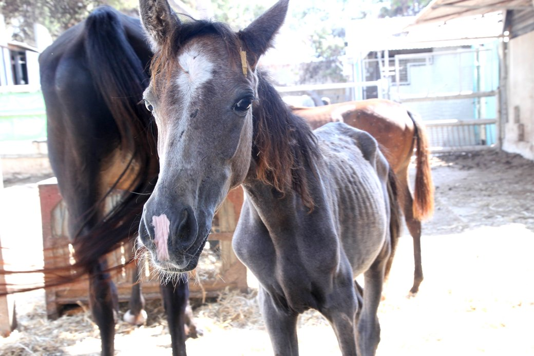 שיקום סוסים וחמורים באורוות האגודה