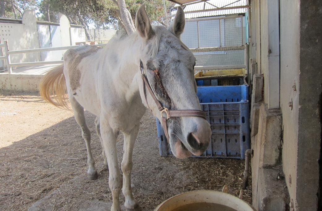 הסוסה שולה מטופלת באורוות האגודה