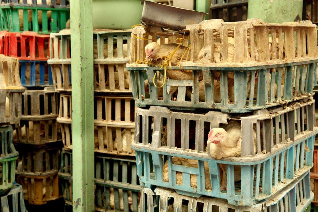 התרנגולים מובלים בתנאים קשים וממתינים לסכין השוחט שעות ארוכות ללא אוכל ומים