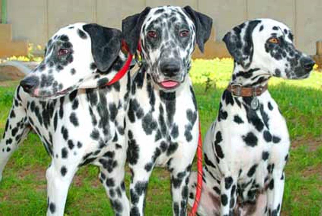 כלבים דלמטיים