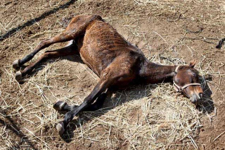 הסוסה קרסה ולא היה להרימה שוב על רגליה