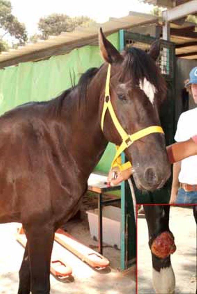 סוס שנמצא משוטט, רזה מאוד ומלא בתולעים