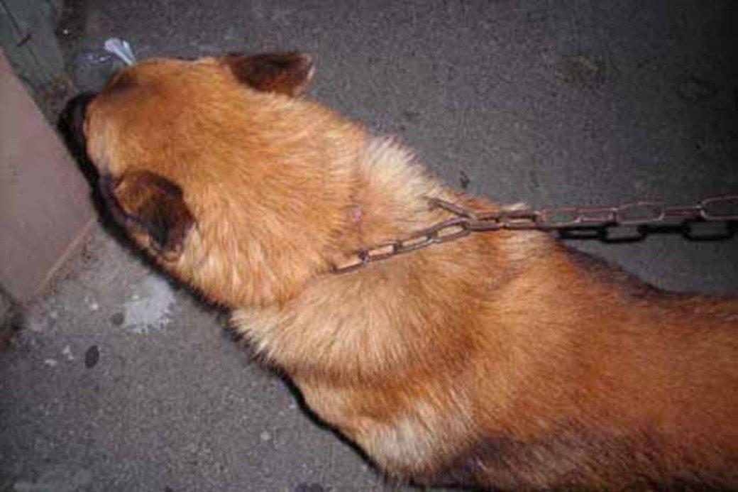 הבעלים יצאו לחופשה והשאירו את הכלבים קשורים ללא מזון ומים