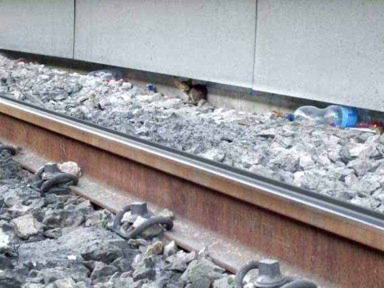 גורת החתולים המבוהלת בסמוך למסילה