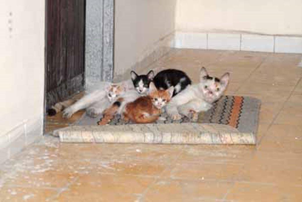 עיקור וסירוס חתולים