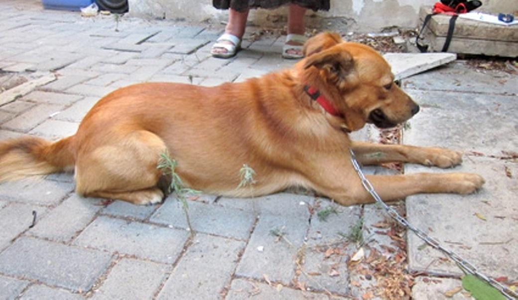 הכלב קשור בשרשרת חוליות