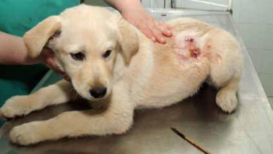 גורת הכלבים לאחר קבלת טיפול