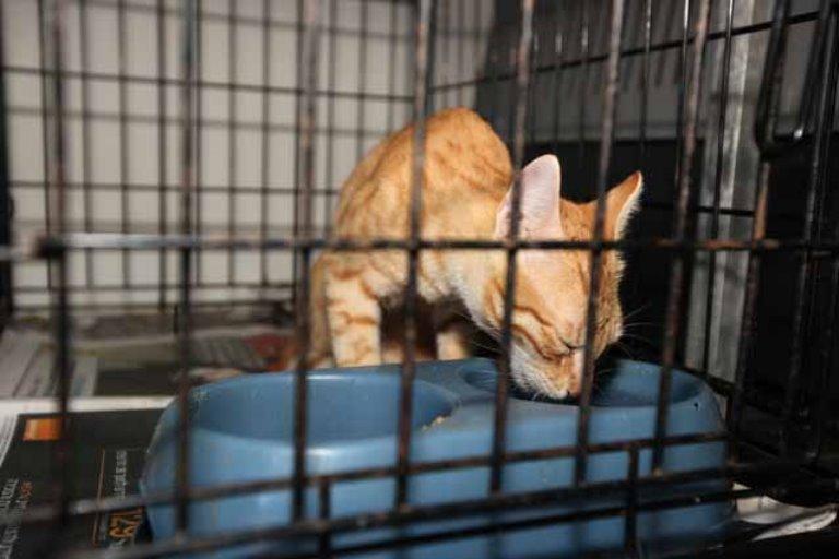 החתול מתאושש במרפאת האגודה