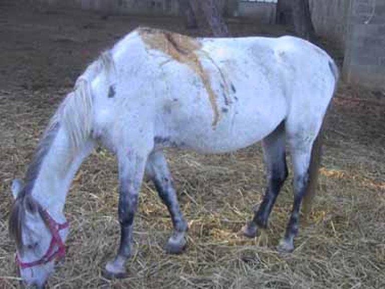 הסוס רזה, מיובש וסובל מפצע מוגלתי ענק בגבו
