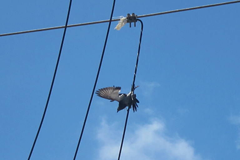 רגליה של היונה המסכנה הסתבכו בכבל החשמל