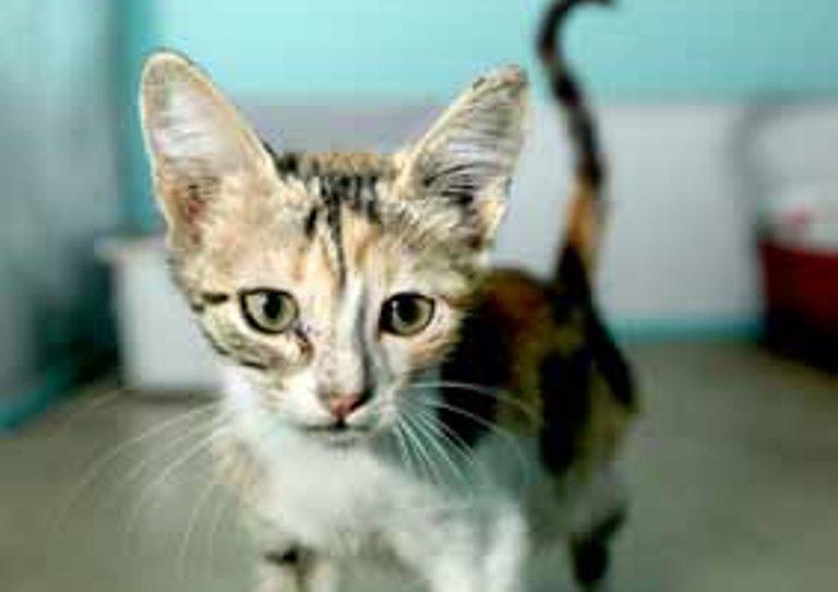 עלמה, חתולה טריקולורית בת חודשיים וחצי, ממתינה לבית חם