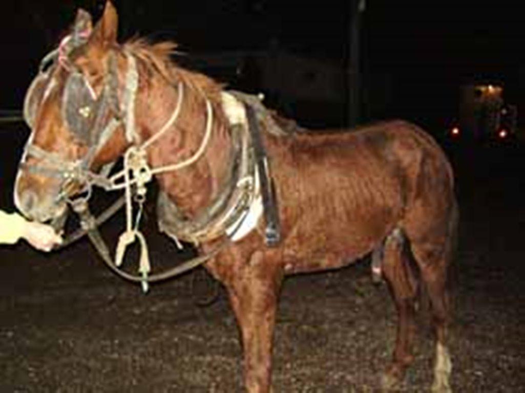 הסוס שוחרר ממעניו
