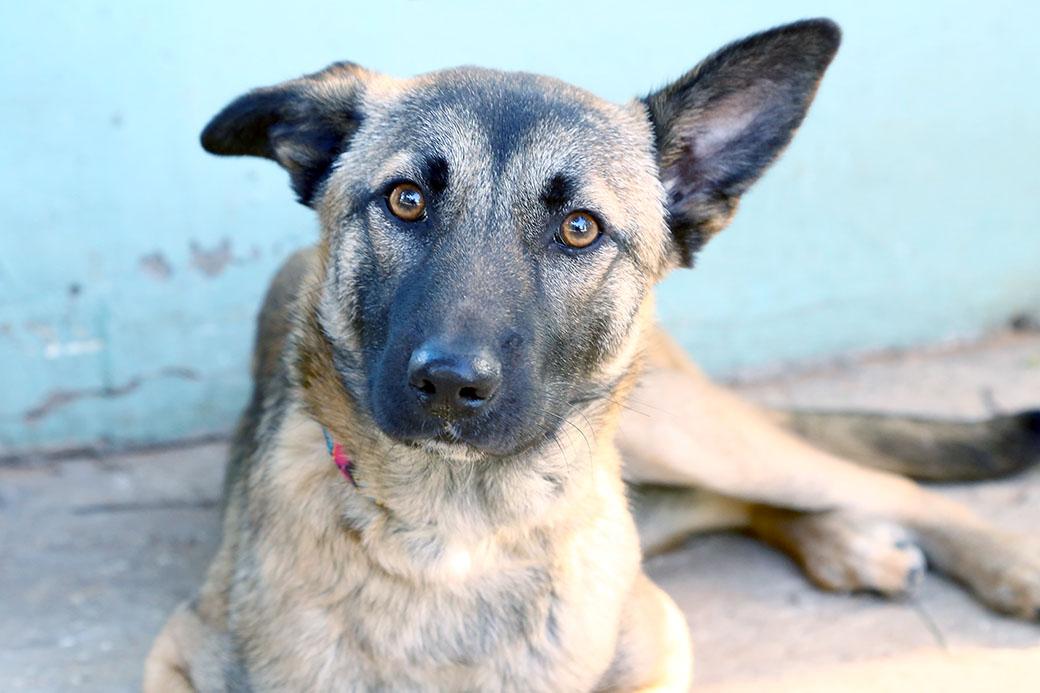 כלבת רועים מעורבת בת 8 חודשים, קשובה וערנית. כלבה צעירה שמחכה בקוצר רוח למצוא אהבה חדשה וזקוקה למשפחה עם הרבה סבלנות וניסיון בחינוך