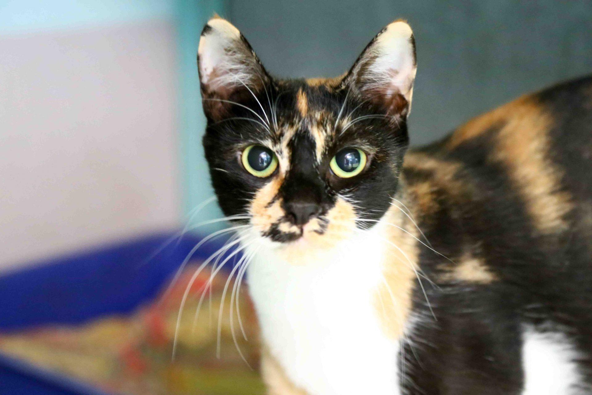 ליידי חתולה לאימוץ אגודת צער בעלי חיים בישראל