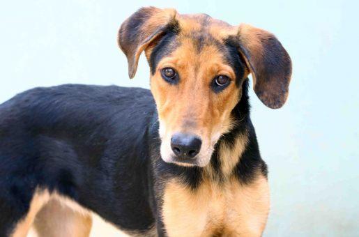 יפה כלבה לאימוץ - אגודת צער בעלי חיים בישראל
