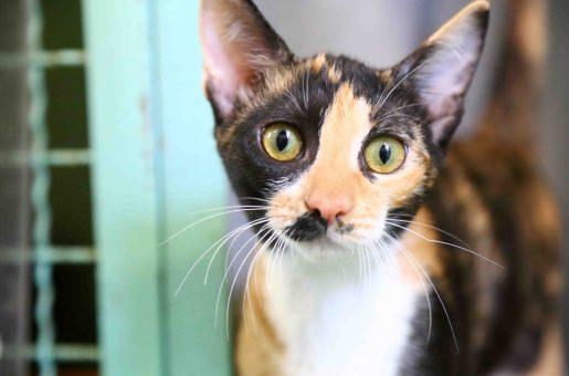 גילי חתולה לאימוץ אגודת צער בעלי חיים בישראל