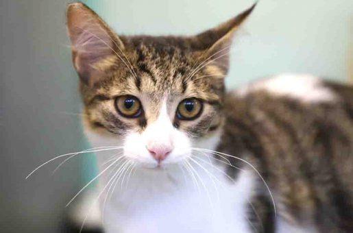 אליזבת חתולה לאימוץ אגודת צער בעלי חיים בישראל