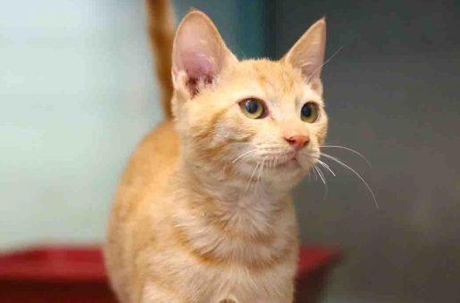 טראנס חתול לאימוץ אגודת צער בעלי חיים בישראל