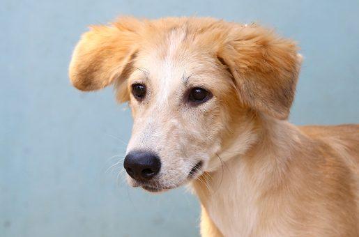 בראוניס כלב לאימוץ אגודת צער בעלי חיים בישראל