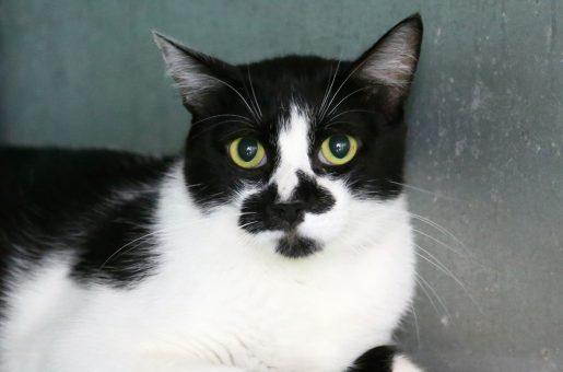 צ'ארלי חתול לאימוץ אגודת צער בעלי חיים בישראל
