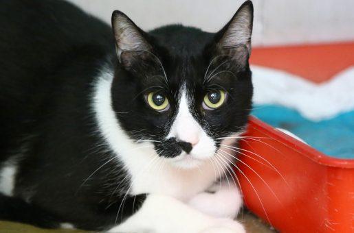 קנופרד חתול לאימוץ אגודת צער בעלי חיים בישראל