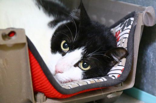 שובי חתול לאימוץ אגודת צער בעלי חיים בישראל