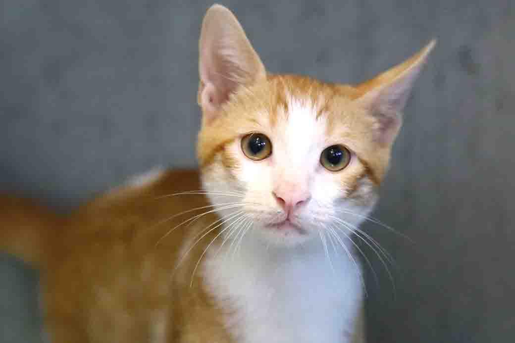 ריז'יק חתול לאימוץ אגודת צער בעלי חיים בישראל