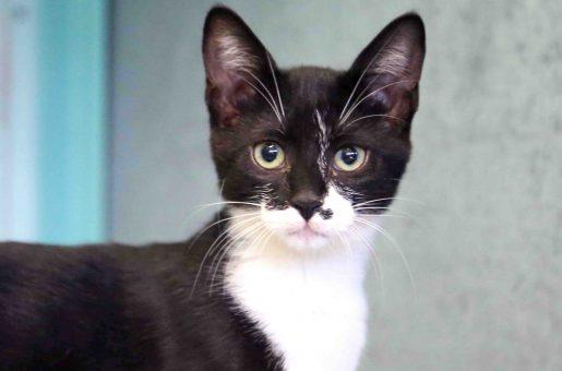 שרלוט חתולה לאימוץ אגודת צער בעלי חיים בישראל
