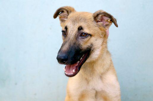 רוזי כלבה לאימוץ אגודת צער בעלי חיים בישראל