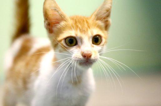 בונו חתול לאימוץ אגודת צער בעלי חיים בישראל