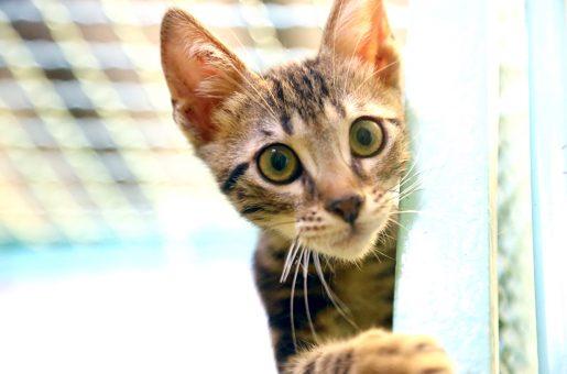 סטיב חתול לאימוץ אגודת צער בעלי חיים בישראל