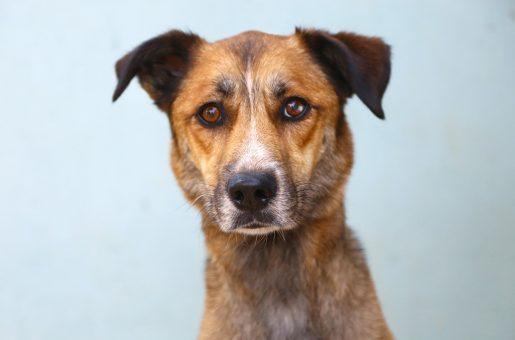 פופו כלב לאימוץ אגודת צער בעלי חיים בישראל