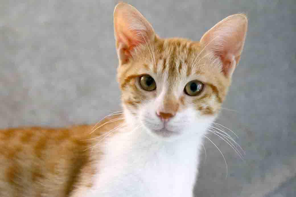 בוביק חתול לאימוץ אגודת צער בעלי חיים בישראל